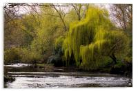 Weeping Willow on River Blyth, Acrylic Print