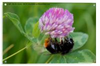 Bee collecting pollen from Clover, Acrylic Print