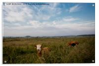 Contented Cows in Flower Meadow, Acrylic Print