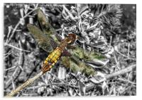 A female broad bodied chaser dragonfly , Acrylic Print