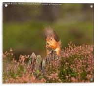 Red Squirrel in Autumn, Acrylic Print
