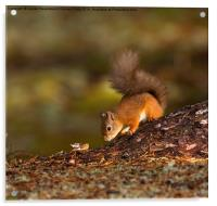 Red Squirrel Searching for Food, Acrylic Print