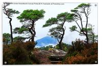 Twisted Pines in Glen Affric, Acrylic Print