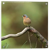 Common Chaffinch, Acrylic Print