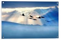 Dawn flight, Acrylic Print