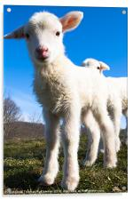 Curious Day Old Lambs, Acrylic Print