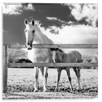 Mare and foal behind fence, Acrylic Print