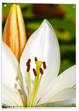White Lily and Bud (Digital Art), Acrylic Print