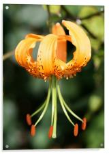 Orange Flower, Acrylic Print