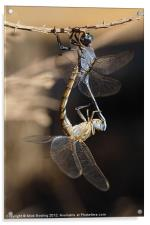 Dragonflies mating, Acrylic Print