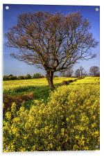 Rapeseed field and Lone Tree , Acrylic Print