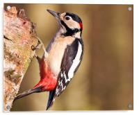 Greater Spotted Woodpecker (Dendrocopos major), Acrylic Print