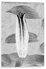 Black and White Lily Bud, Acrylic Print