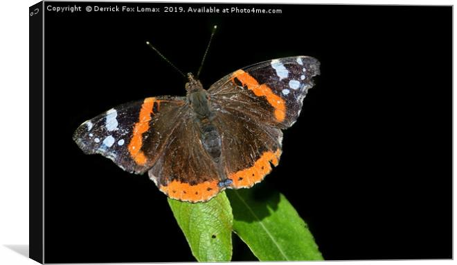 Red Admiral Butterfly Canvas print by Derrick Fox Lomax