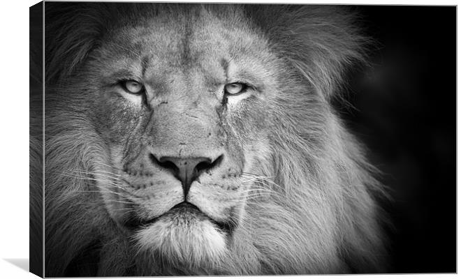 A lion staring Canvas print by Simon Wrigglesworth