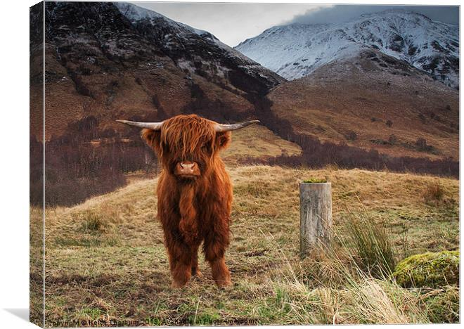 Baby Highland Cow Canvas Print By Keith Thorburn