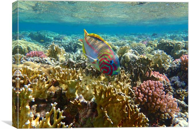Rainbow Wrasse Red Sea Canvas print by mark humpage