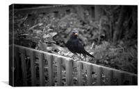 Mr Curious, the Blackbird., Canvas Print