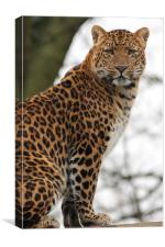 North Chinese Leopard, Canvas Print
