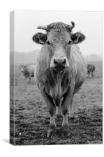 Cow in Fields, Canvas Print