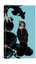 Starling on Post, Canvas Print