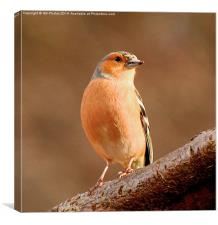 Chaffinch 2, Canvas Print