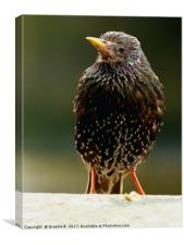 westminster Starling, Canvas Print