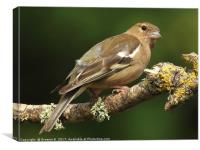 Juvenile Chaffinch 2, Canvas Print