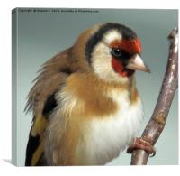 Goldfinch close up, Canvas Print