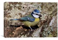 Blue Tit 1, Canvas Print