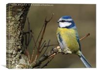 Blue Tit 3, Canvas Print