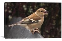 Female Chaffinch, Canvas Print