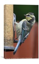 Juvenile Blue Tit, Canvas Print