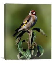 Goldfinch.., Canvas Print