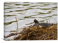 Coot on its Nest, Canvas Print