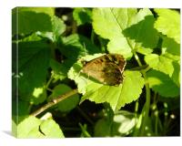 Brown Butterfly on Leaf, Canvas Print