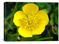 Lustrous Buttercup in the sunshine, Canvas Print