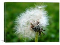 White Dandelion Head, Canvas Print
