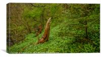 The coming of the wild Garlic, Canvas Print