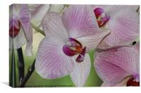 Pink orchid, Canvas Print