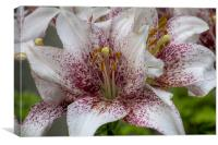 Red and white lilies., Canvas Print