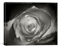 A Glowing Rose  , Canvas Print