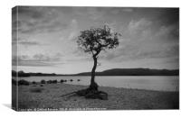The lone Tree in B&W, Canvas Print