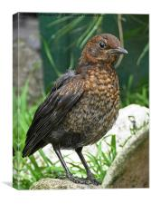 Female baby fledgling Blackbird, Canvas Print