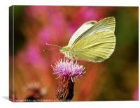 Wood White on Creeping Thistle, Canvas Print