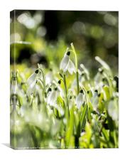 Snowdrops twinkling, Canvas Print