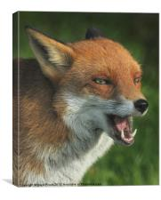Laughing Fox, Canvas Print