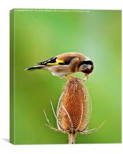 Goldfinch feeding on Teasel comb., Canvas Print