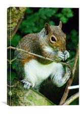 Fat Squirrel eating a nut, Canvas Print