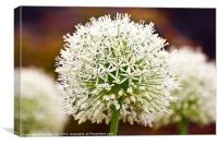 Giant White Allium, Canvas Print